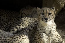 Cheetahs Lounging Royalty Free Stock Photography