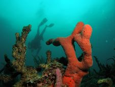 Orange Coral With Diver Stock Photography