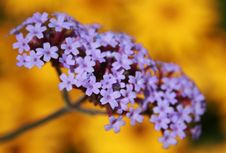 Free Purple And Yellow Flowers Royalty Free Stock Photography - 5742217