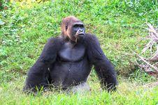Free Silverback Gorilla Stock Photos - 5743333