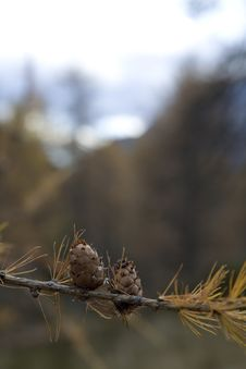 Pine Branch With Cones Stock Photos