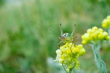 Free Close Up Of Green Grasshopper Stock Photography - 5745432