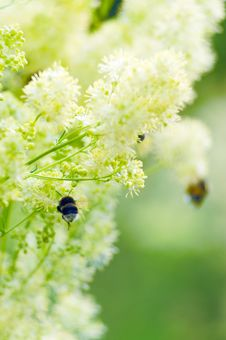 Bumblebees On A Yellow Flowers Royalty Free Stock Image