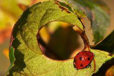 Free Ladybug Stock Photography - 5745922