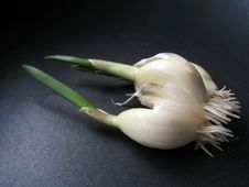 Free Garlic Sprout Royalty Free Stock Images - 5745989
