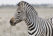 Free Head Of The Zebra Royalty Free Stock Photo - 5746115