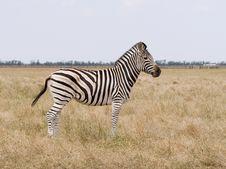 Free Zebra1 Stock Image - 5747241