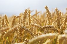Free Wheat Field Royalty Free Stock Photo - 5747495