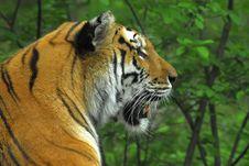 Free Tiger Royalty Free Stock Photo - 5747545