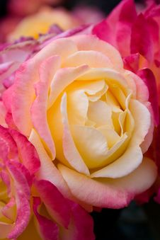 Free Pink Rose Royalty Free Stock Photo - 5747845