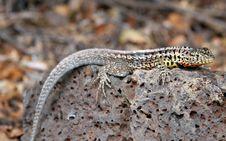 Free Juvenile Land Iguana (Conolophus Subcristatus) Royalty Free Stock Images - 5747899