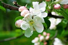 Free Apple Tree Blossom Royalty Free Stock Photo - 5748045