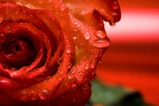 Free Red Rose With Water Drops Stock Photography - 5749682
