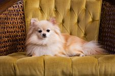Free Royal Pomeranian Royalty Free Stock Images - 5749899