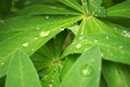 Free Drops Of Rain On The Green Leafs. Krople Deszczu Stock Photos - 57495433