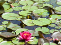 Free Beautiful Pink Water Lily Royalty Free Stock Photos - 5750898