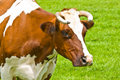 Free Cow Portrait Royalty Free Stock Photography - 5754467
