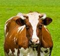 Free Cow Portrait Stock Photography - 5754482