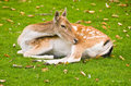 Free Young Deer Royalty Free Stock Image - 5754556