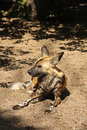Free African Wild (painted) Dog Royalty Free Stock Photo - 5759725