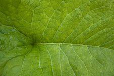 Free The Green Sheet Inula Royalty Free Stock Image - 5750146
