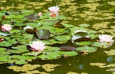 Free Beautiful White Water Lily Royalty Free Stock Image - 5750956