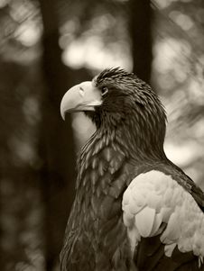Free Largr Eagle Royalty Free Stock Photos - 5751018
