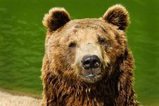 Free Brown Bear Stock Image - 5751321