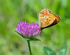 Free Butterfly On A Clover Stock Photos - 5751333