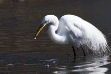 Free Egret Catch Fish In A Bill Royalty Free Stock Images - 5751429