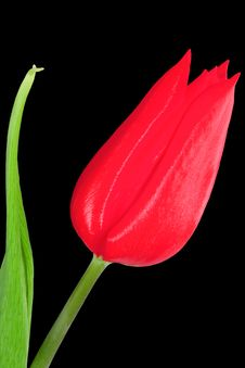 Free Red Tulip Stock Photography - 5751642