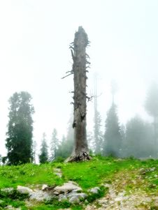 Dead Tree In Foggy Landscape Royalty Free Stock Photo