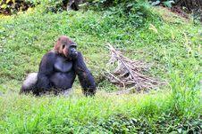 Free Silverback Gorilla Royalty Free Stock Photo - 5752655