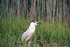 Free Black Crowned Night Heron Stock Photos - 5752703