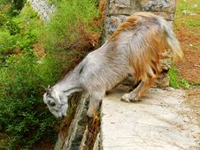 Free Mountain Goat Jumping Stock Photo - 5752770