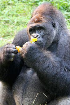 Free Silverback Gorilla Royalty Free Stock Images - 5752809