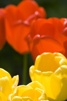 Free Yellow And Red Tulips Royalty Free Stock Photos - 5753218