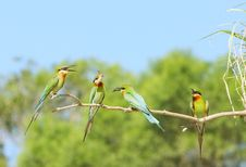 Free Bee-eater Stock Photos - 5753583