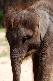Free Baby Asian Elephant Royalty Free Stock Photography - 5753697