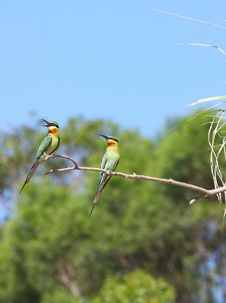 Free Bee-eater Stock Image - 5753741