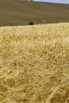 Free Ready For Harvest Stock Image - 5754311