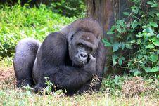 Free Silverback Gorilla Stock Photography - 5754372