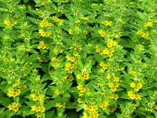 Free Blooming Yellow Flowers Royalty Free Stock Images - 5754399