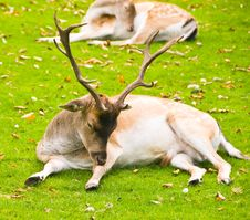 Free Laying Deer Stock Photography - 5754592