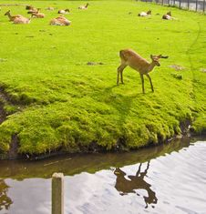 Young Deers Stock Image