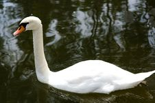 Free Swan Stock Photography - 5755552