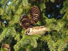 Free Sparrow Stock Image - 5756161