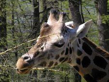 Free Giraffe Royalty Free Stock Image - 5756206
