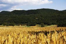 Free Wheat Stock Image - 5757431