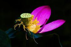 Free Lotus Blossom Royalty Free Stock Image - 5757786